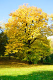 Yellow Tree in Park. Autumn Morning Light in Park with Yellow Maple Tree Stock Photography