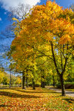 Yellow tree in the park Royalty Free Stock Photo