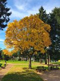 Yellow tree park. Taken on a small village in royalty free stock photo