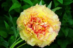 Yellow Tree Peony Paeonia suffruticosa. NYellow flower on a green background Stock Image
