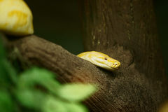 Yellow Tree Python Royalty Free Stock Photo