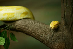 Yellow Tree Python Royalty Free Stock Images