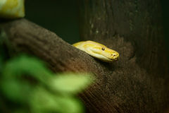 Yellow Tree Python Stock Image