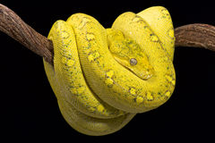 Yellow tree python (Morelia viridis) Stock Photo