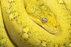 Yellow tree python (Morelia viridis) Royalty Free Stock Photos