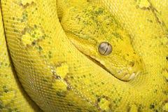 Yellow tree python (Morelia viridis) Royalty Free Stock Photos