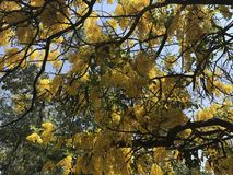 Yellow tree seen from below. Royalty Free Stock Photos