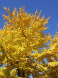 Yellow tree. In a sunny day of autumn Royalty Free Stock Photos