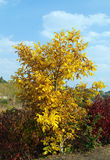 Yellow tree in sunny day. Autumn landscape - yellow tree in sunny day Royalty Free Stock Image