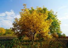 Yellow tree in sunny day. Autumn landscape - yellow tree in sunny day Royalty Free Stock Photos