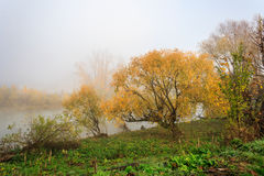 Yellow tree in thick fog on autumn embankment Stock Photos