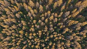 Yellow tree tops early fall: shot from a height, only trees. The tops of coniferous trees in a dense forest. Yellow tree tops early fall: shot from a height stock footage