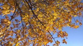 Yellow tree with withered leaves against blue sky, slow motion. Autumn tree with withered leaves against blue sky, slow motion stock video