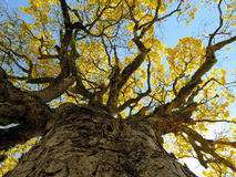 Yellow tree trunk. (Handroanthus albus) Royalty Free Stock Photography