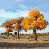 Yellow trees. Winter comes,trees turns yellow standing in the field with sunny sky Royalty Free Stock Images