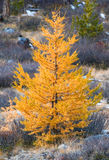 Yellow trees Royalty Free Stock Images