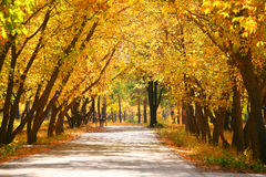 Yellow trees. Road among yellow trees in park Royalty Free Stock Photo