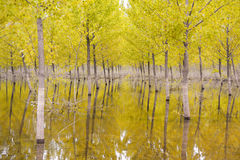 Yellow trees Stock Photography