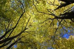 Yellow trees Stock Image
