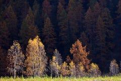 Yellow trees Stock Photos