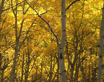 Yellow Trees. Aspen trees in Coloeado photographed during the fall season royalty free stock photo