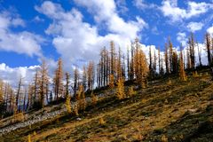 Yellow trees against blue sky in autumn. Stock Image