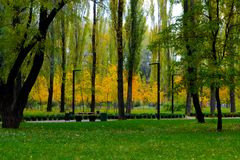 Yellow trees. Autumn coming, yellow trees between green Stock Photos