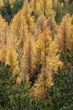 Yellow trees in autumn forest. Yellow fallen trees in autumn forest. Larix decidua Royalty Free Stock Images