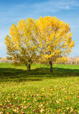 Yellow trees in autumn forest Stock Image