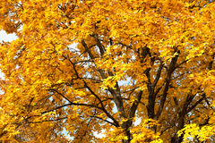 Yellow trees in autumn forest Royalty Free Stock Photo