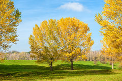 Yellow trees in autumn forest Stock Images