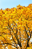 Yellow trees in autumn forest Stock Photo
