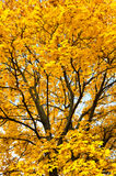 Yellow trees in autumn forest Royalty Free Stock Image