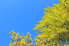 Yellow trees in autumn Royalty Free Stock Photo