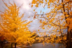 Yellow trees in autumn, Mount Fuji resort, Japan. Yellow trees in autumn on the side of Lake Kawaguchi, one of the scenic five lakes close to Mount Fuji, Japan royalty free stock images
