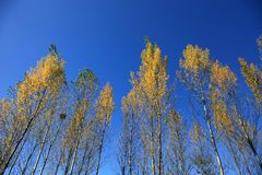 Yellow trees in autumn of northeast of China. In autumn of northeast of China, Trees are turning to  yellow and it is beautiful under blue sky Stock Images