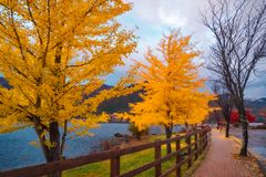 Yellow trees in autumn on a street in Fujikawaguchiko, Japan. Yellow trees in autumn on a street in Fujikawaguchiko, a Japanese resort town on the side of Lake royalty free stock photo