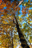 Yellow trees  in autumnal forest Royalty Free Stock Photography