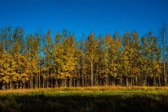 Yellow Trees in the Fall royalty free stock images