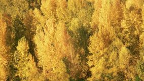 Yellow trees in the forest. Close up. Flying bird stock video