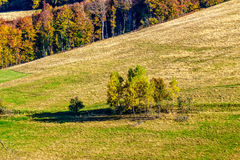 Yellow trees on hillside on mountain background at sunrise. Autumn yellow trees on hillside on background of mountain with coniferous forest at sunrise Royalty Free Stock Photos