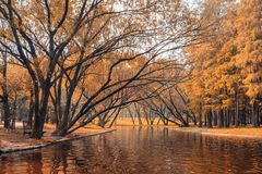 Yellow trees and lake in Shanghai gongqing forest park in autumn royalty free stock images