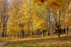 Yellow trees in october Stock Photos