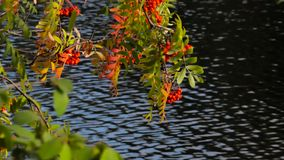 Yellow trees and red berries on a background of water Autumn stock footage