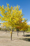Yellow trees. Several trees that are yellowed by the arrival of autumn Royalty Free Stock Images