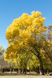 Yellow trees. Several trees that are yellowed by the arrival of autumn Stock Photo