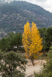 Yellow trees. Several trees that are yellowed by the arrival of autumn Royalty Free Stock Photography