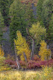 Yellow trees by a stump. Stock Image