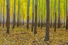 Yellow trees in a tree farm Oregon Stock Photo