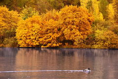 Yellow trees up the blue lake with duck Stock Photos